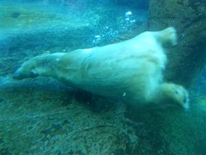 underwaterpolarbear